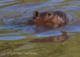 Beaver 4623.jpg