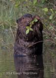 Beaver (7)