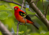 Scarlet Tanager (male) 4706.jpg
