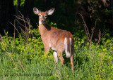 White-tailed Deer (5)