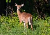 White-tailed Deer (male) 4739.jpg