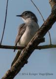 Blue-gray Gnatcatcher 4754.jpg