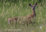 White-tailed Deer (female) 5164.jpg