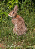 Eastern Cottontail Rabbit (3)