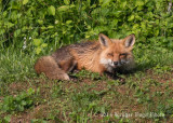 Red Fox 4831.jpg