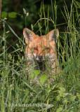 Red Fox 4833.jpg