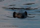 Beaver 5525.jpg