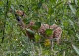 White-tailed Deer (fawn) 5458.jpg
