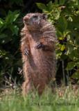 Woodchuck (4)