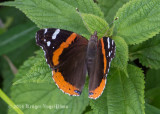 Red Admiral 5803.jpg