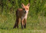 Red Fox 6408.jpg