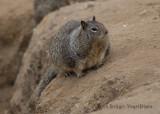 California Ground Squirrel (6)