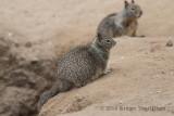 California Ground Squirrel 8201.jpg