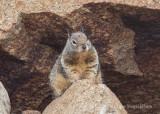 Ground Squirrel 8220.jpg