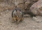 California Ground Squirrel 8242.jpg