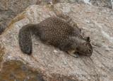 California Ground Squirrel 8243.jpg