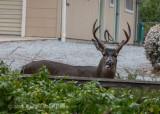 Mule Deer 8430.jpg