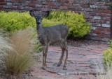Mule Deer 8426.jpg