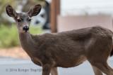 Mule Deer 8025.jpg