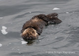Sea Otter 8315.jpg