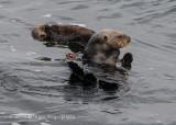 Sea Otter (9)