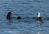 Sea Otter & Western Gull 8691.jpg