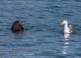 Sea Otter & Western Gull 8693.jpg