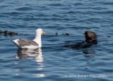 Sea Otter & Western Gull 8697.jpg
