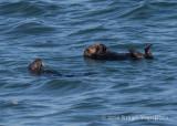Sea Otters 8840.jpg