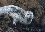Harbor Seal (11)