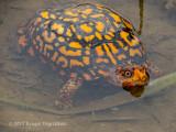 Eastern Box Turtle (3)
