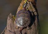 Eastern Painted Turtle 9180.jpg