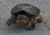 Eastern Snapping Turtle (7)
