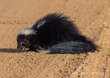 Striped Skunk 2684.jpg