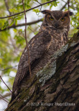 Great Horned Owl 3633.jpg