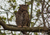 Great Horned Owl 3663.jpg