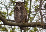 Great Horned Owl 3682.jpg