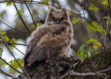 Great Horned Owl 3688.jpg