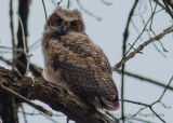 Great Horned Owl 3701.jpg