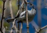 Blue-gray Gnatcatcher 3767.jpg