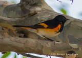 American Redstart (male) 9753.jpg