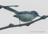 Blue-gray Gnatcatcher 9978.jpg