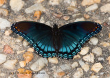 Red-spotted Purple 1480.jpg