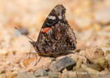 Red Admiral 2056.jpg