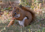 American Red Squirrel (1)