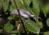Blue-gray Gnatcatcher 3186.jpg