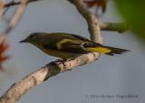 American Redstart (female) 3471.jpg