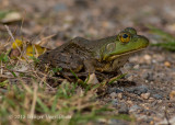 Northern Green Frog (2)