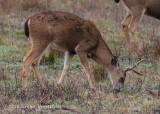 Mule Deer (buck) 2592.jpg