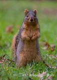 Eastern Fox Squirrel (5)